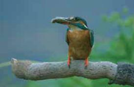 Blauet, un dels ocells amb coloració més espectacular de la Tordera